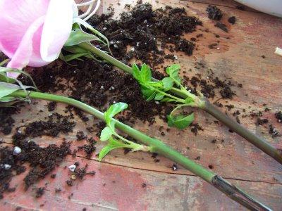 Из цветка розы вырастить куст розы