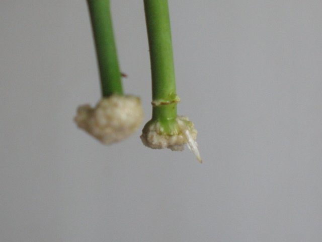 Как укоренить черенок розы в домашних условиях
