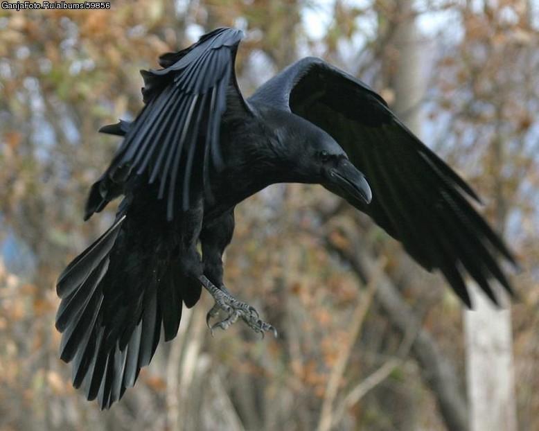 изображение вороны: