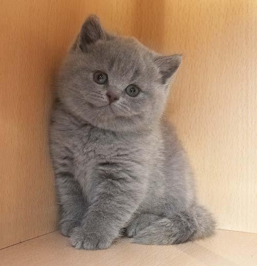 Британский кот и обычная кошка фото