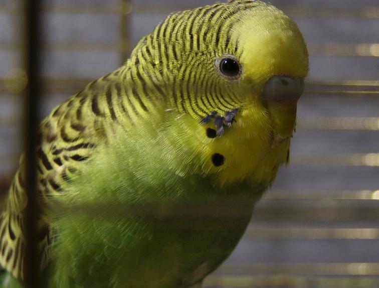Как загнать попугая в клетку 🚩 как выманить попугая из клетки 🚩 Попугаи и канарейки