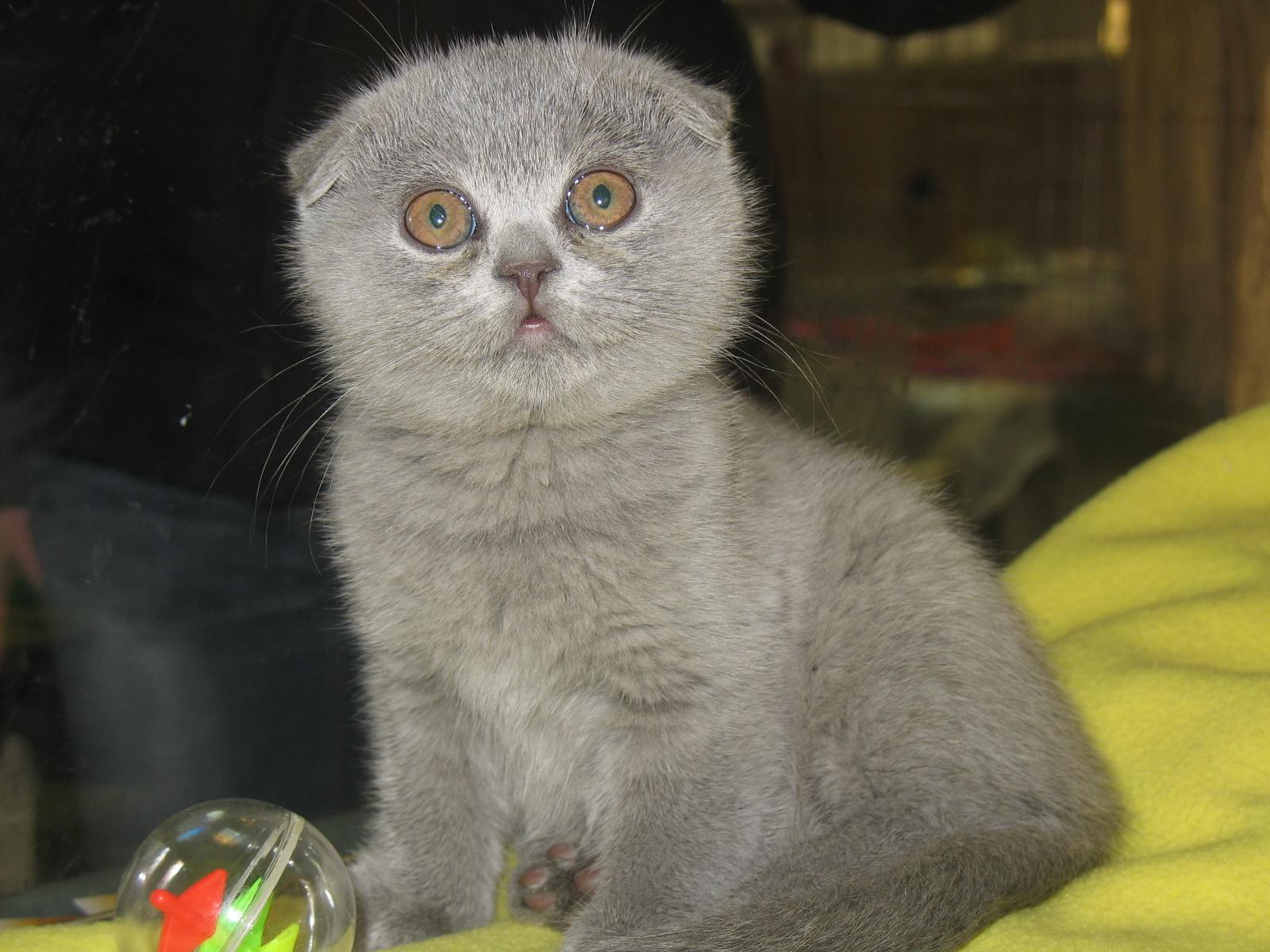Шотландские вислоухие кот как назвать