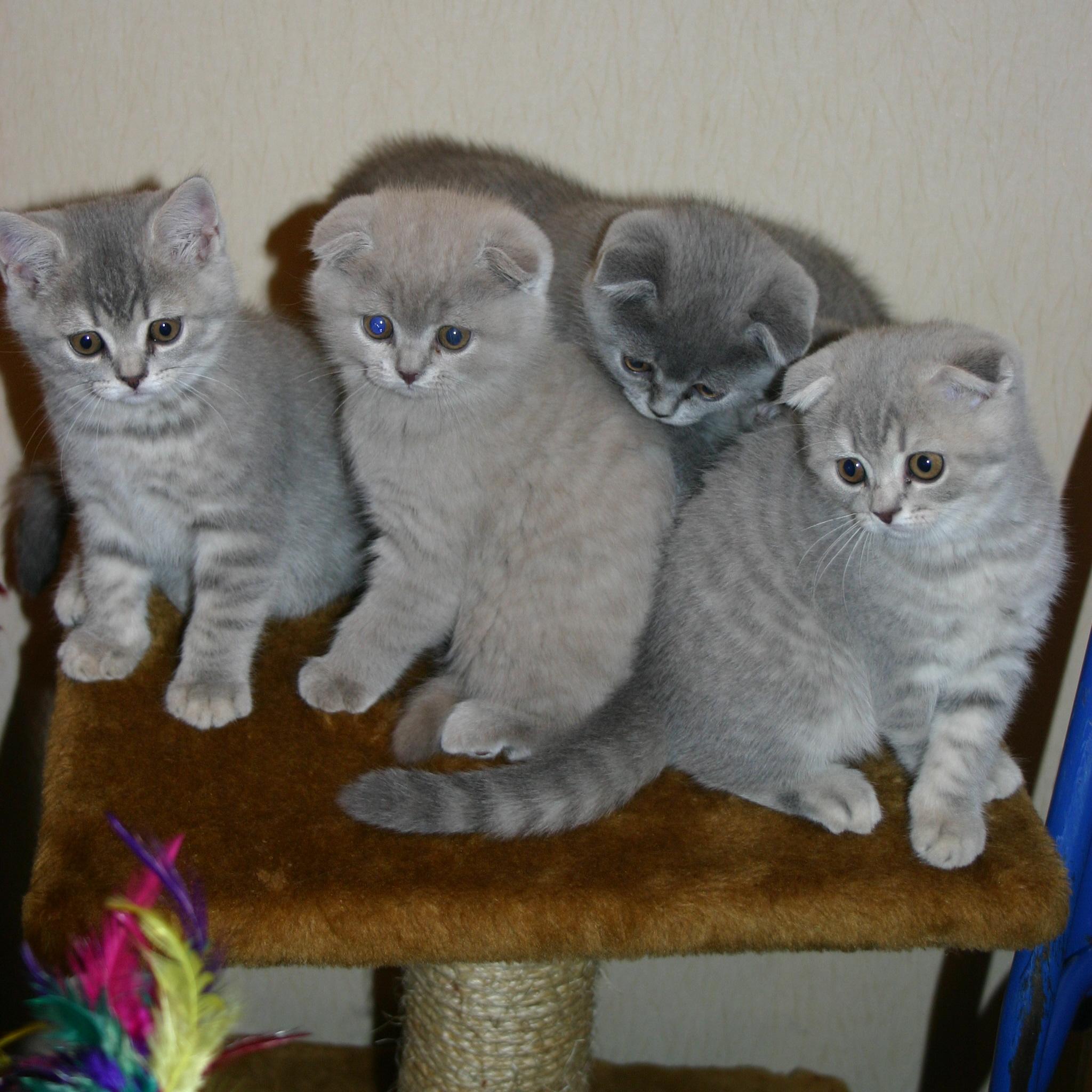 шотландских кошек и котят