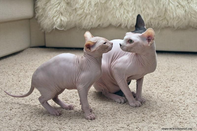 лысых кошек и котят