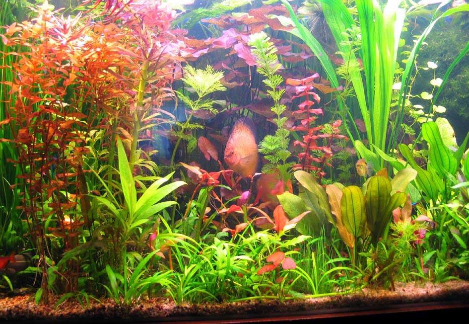 Как вырастить водоросли для аквариума в домашних условиях 77