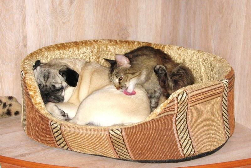 Как знакомить кота и собаку