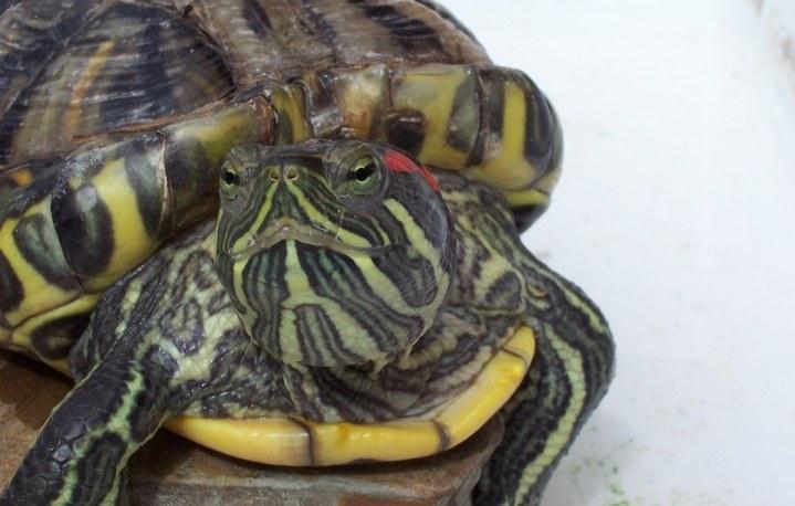 Как лечить глаза у черепахи в домашних условиях