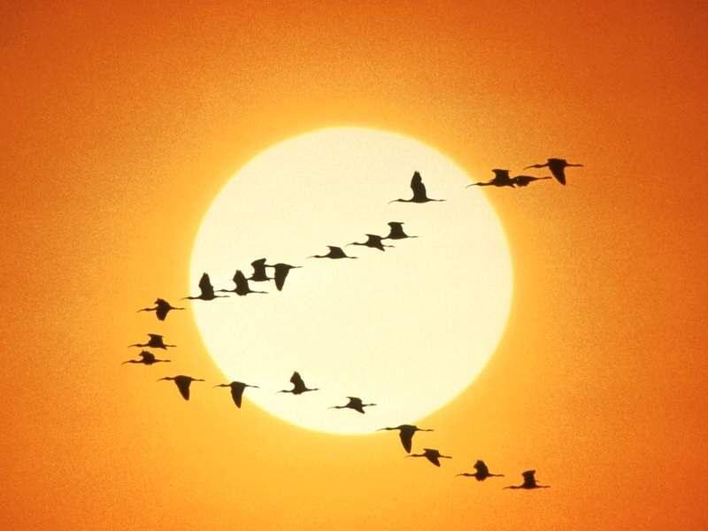 диких гусей и уток