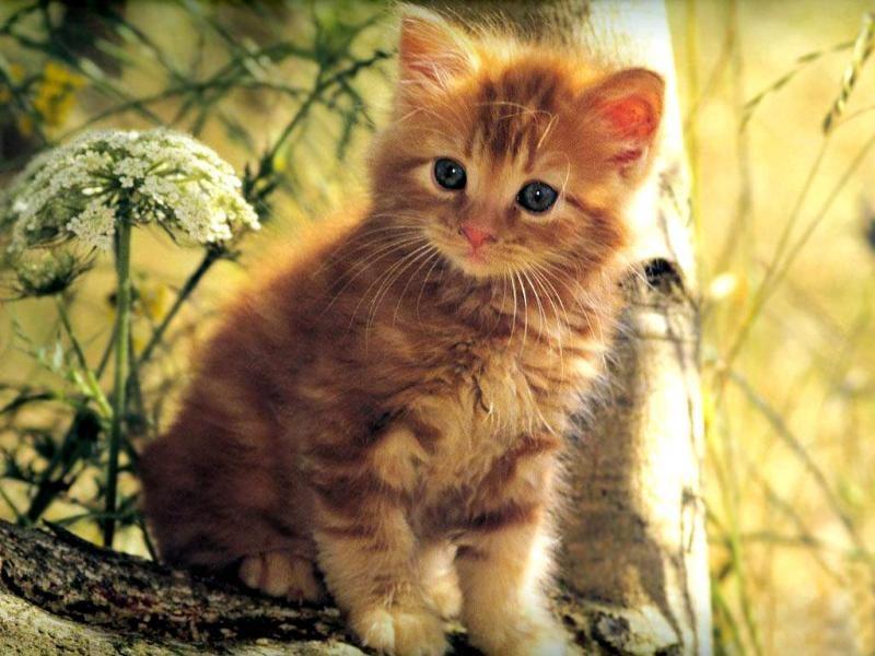 Как назвать котенка девочку рыжего цвета