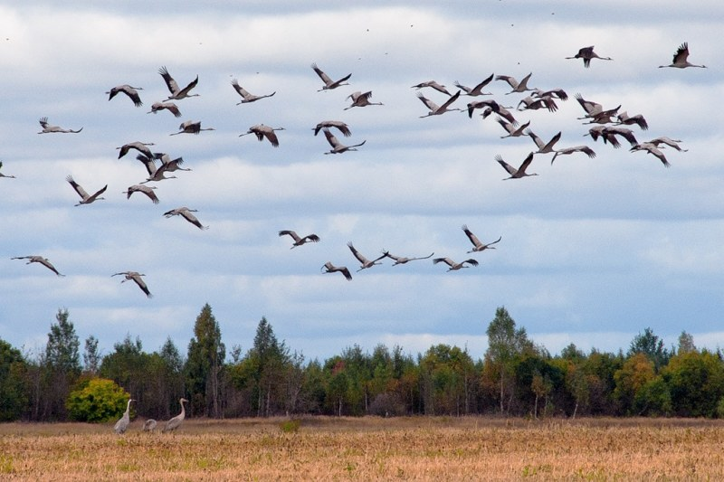 осень картинки птицы улетают на юг