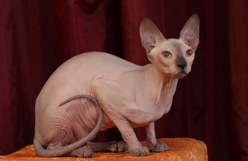 В каком возрасте вязать кошку сфинкс