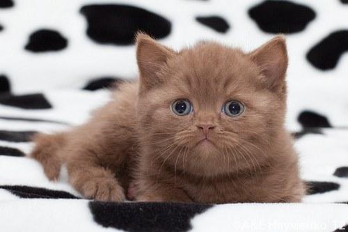 Как назвать британского котёнка девочку серого цвета