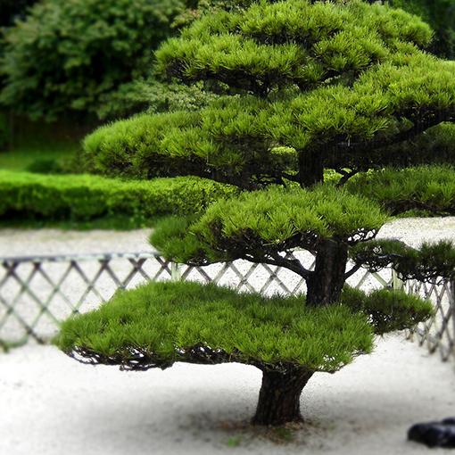 Можно сажать декоративное дерево
