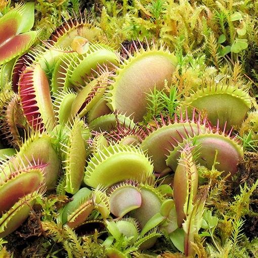 Мухоловка цветок как вырастить из семян