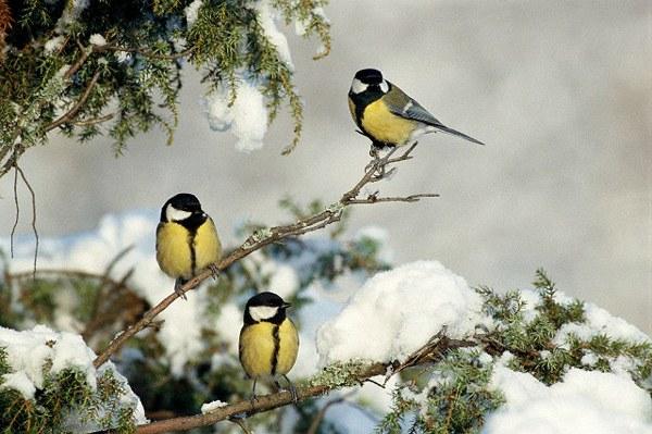 Зимующие птицы дальнего востока картинки фото