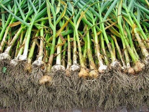 Как поливать чеснок в открытом грунте. Выращиваем чеснок на даче: как поливать и чем удобрять. Правила уборки и хранения чеснока