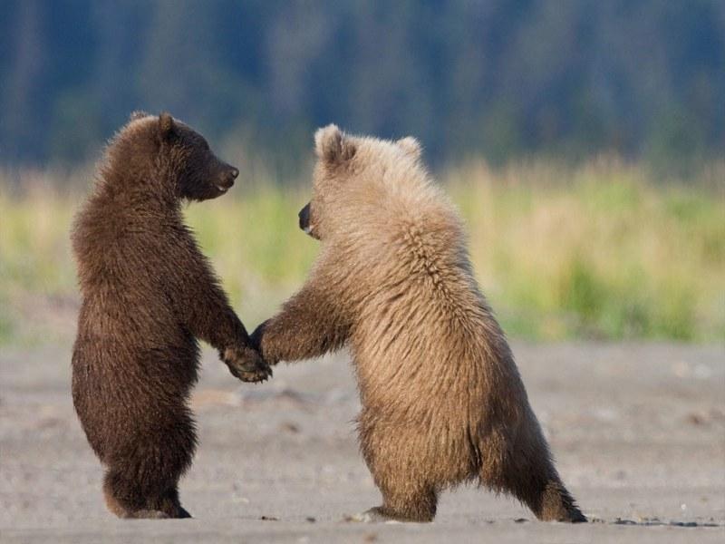 белого и бурого медведя