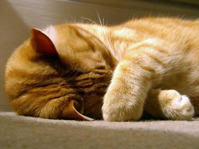 Кот нос прячет