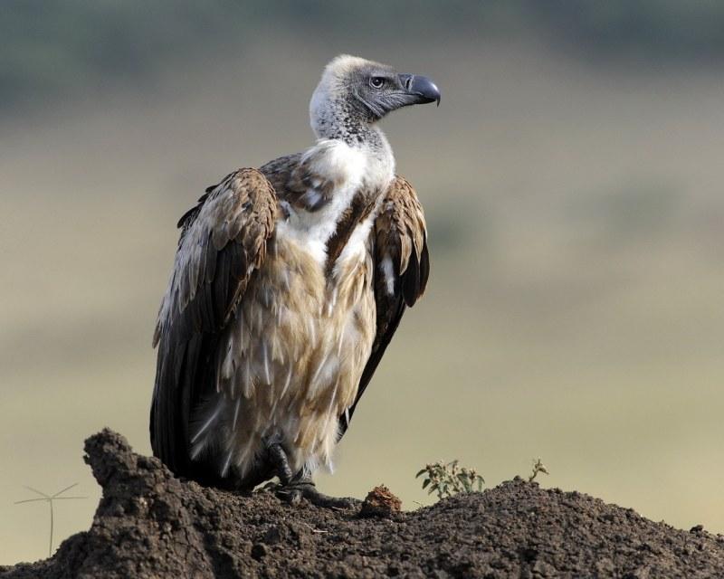 Животные питающиеся падалью особенности животных-падальщиков