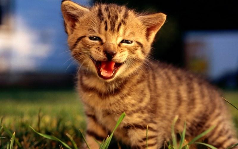 Звуки мяуканье кошек скачать