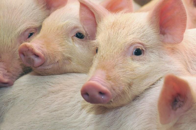 Почему нельзя есть свинину 🚩 библия запрещает есть свинину 🚩 Религия