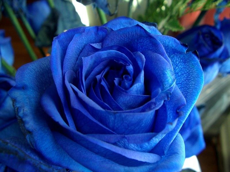 Купить синие розы саженцы где найти подарок мужчине на день рождения в мурманске