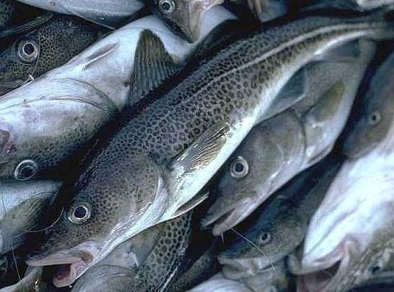 Пикша что за рыба, исследования польза и вред для организма, рецепты