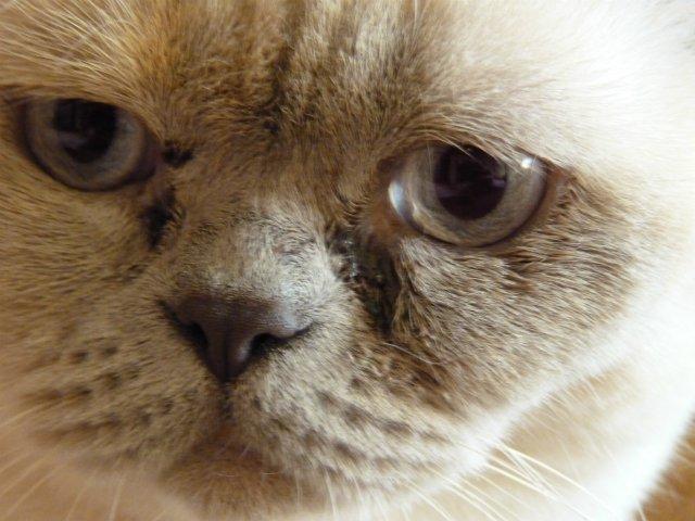 У кота британца гноятся глаза
