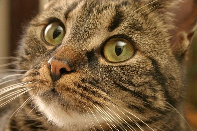 лишай у кошки чем лечить