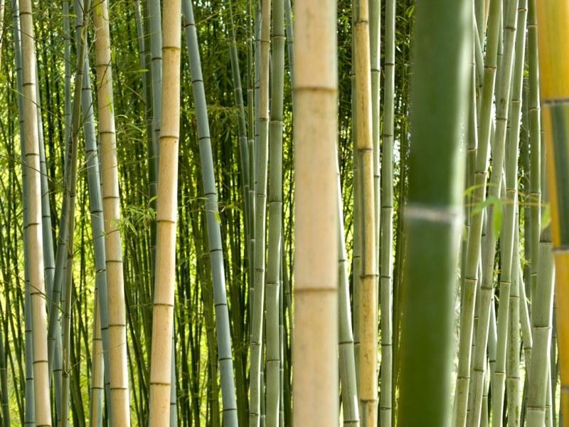 Как быстро растет бамбук за сутки