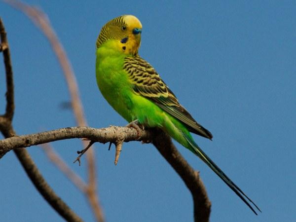 Как завести волнистого попугая
