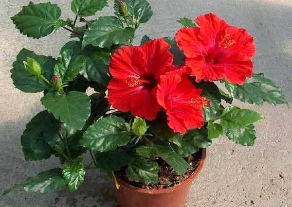 Китайская роза — гибискус приметы и суеверия цветка, фото