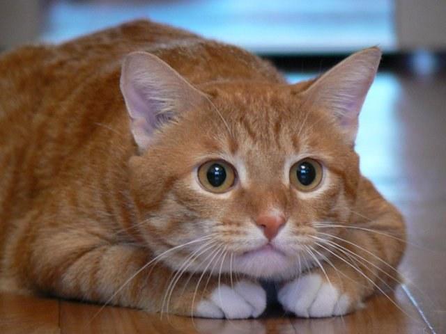отличить кота от кошки