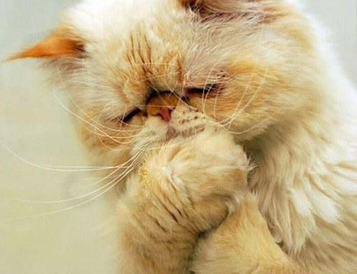 кот светло рыжий грустит или молится