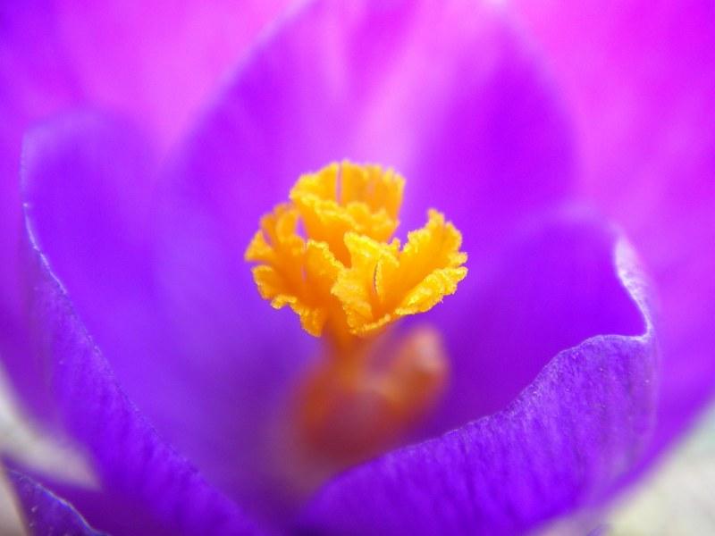 Цвет пурпурный какой он