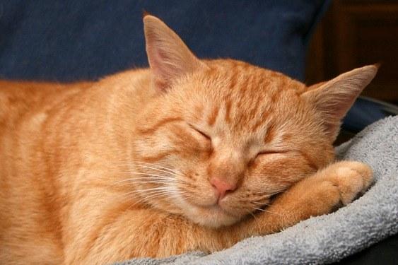 Бывают ли кошки рыжего цвета