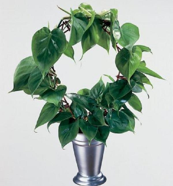 Комнатные растения плетущиеся