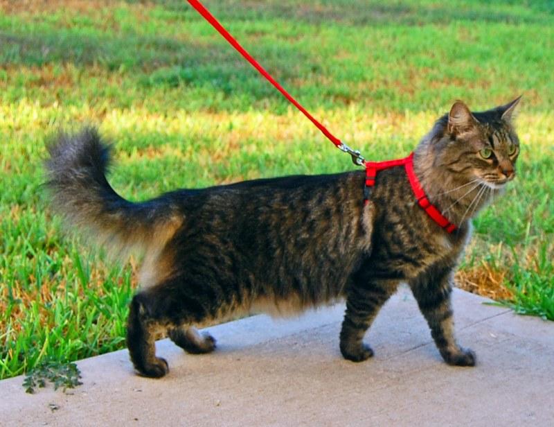 Как гулять с домашним котом