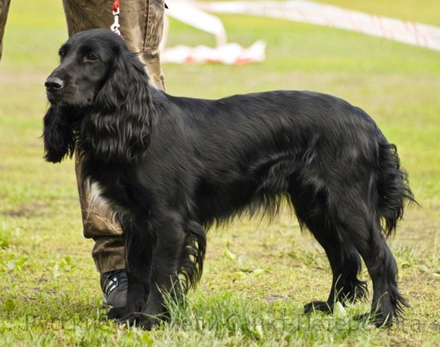 собаки русский кокер спаниель