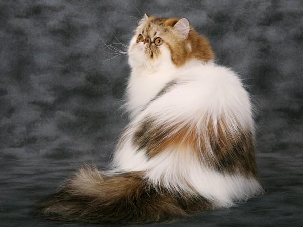 Ответы Mail Ru: Как избавится от колтунов у кота?