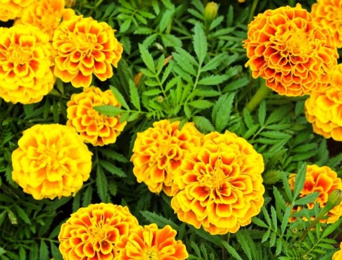популярные садовые цветы
