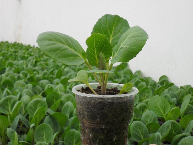 Как вырастить рассаду капусты в 75
