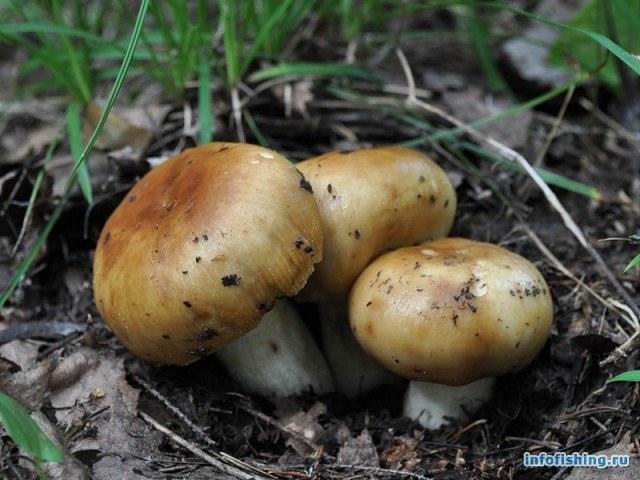 бычки грибы описание и фото