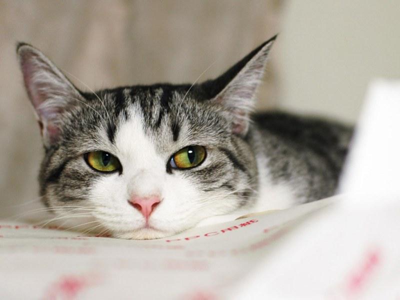 Борный спирт в уши коту