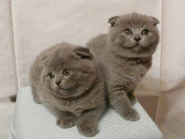Вислоухие коты 3 месяца