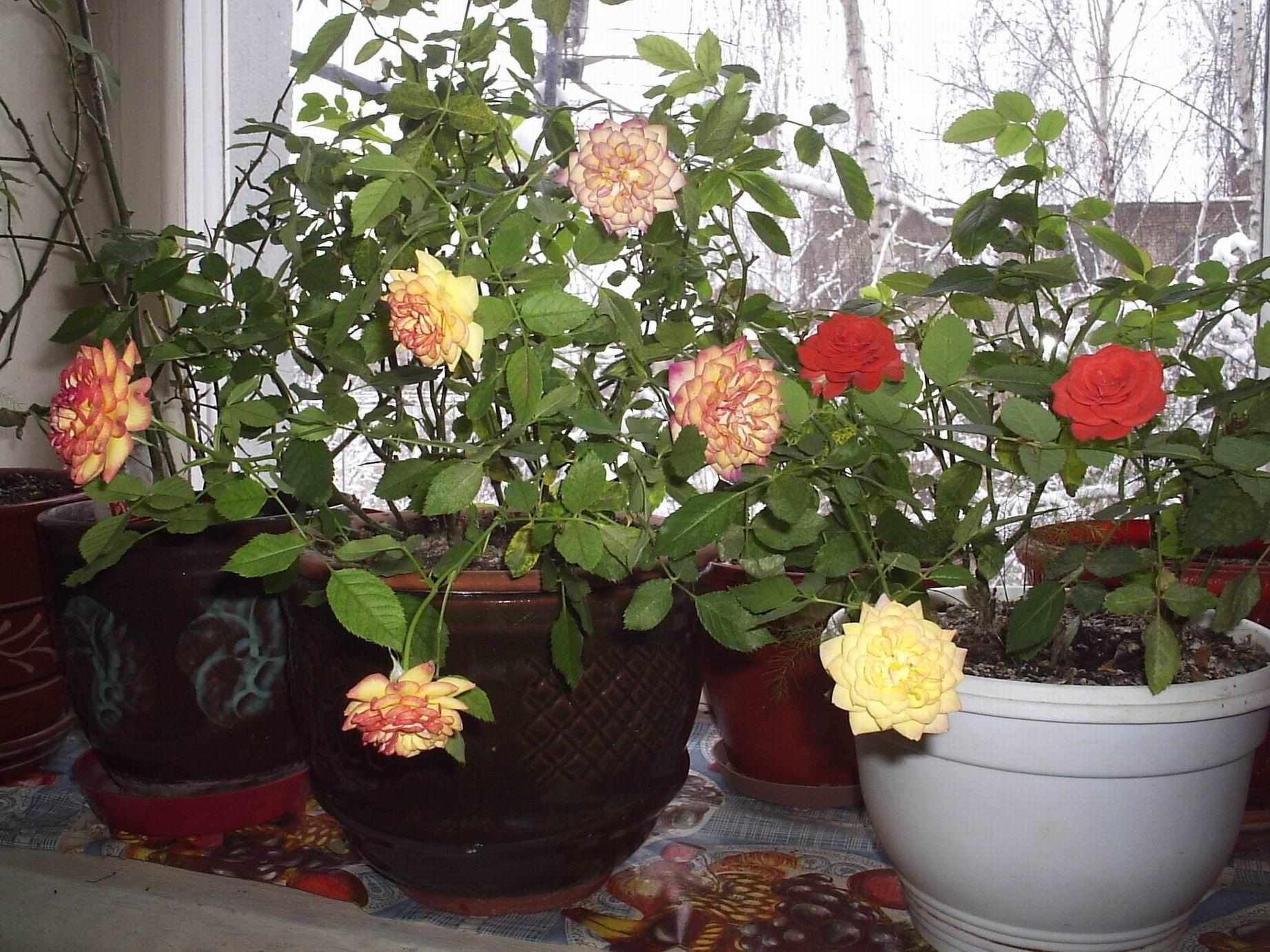 домашняя роза  уход