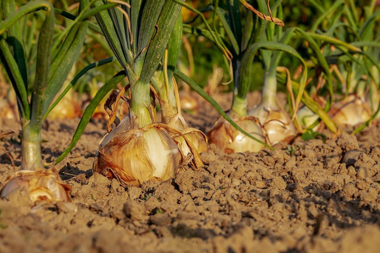 Когда убирать лук с грядки на хранение – сроки и правила