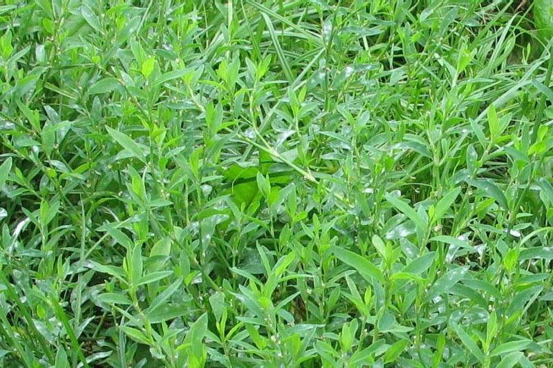 какая трава помогает от паразитов в организме