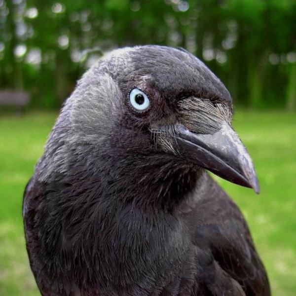 Клюв ворона своими руками