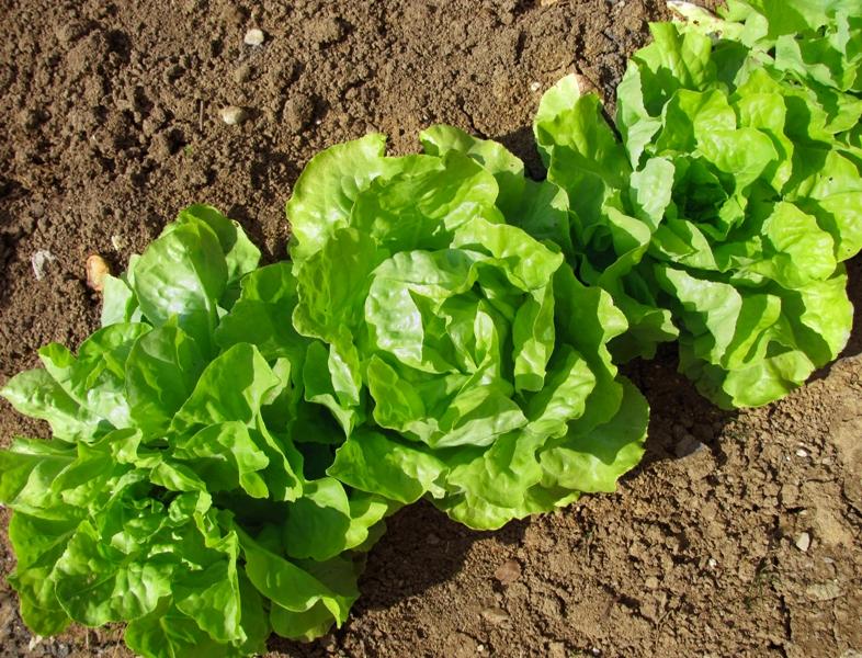 кашля фото салатов растущих в огороде узнала этом после